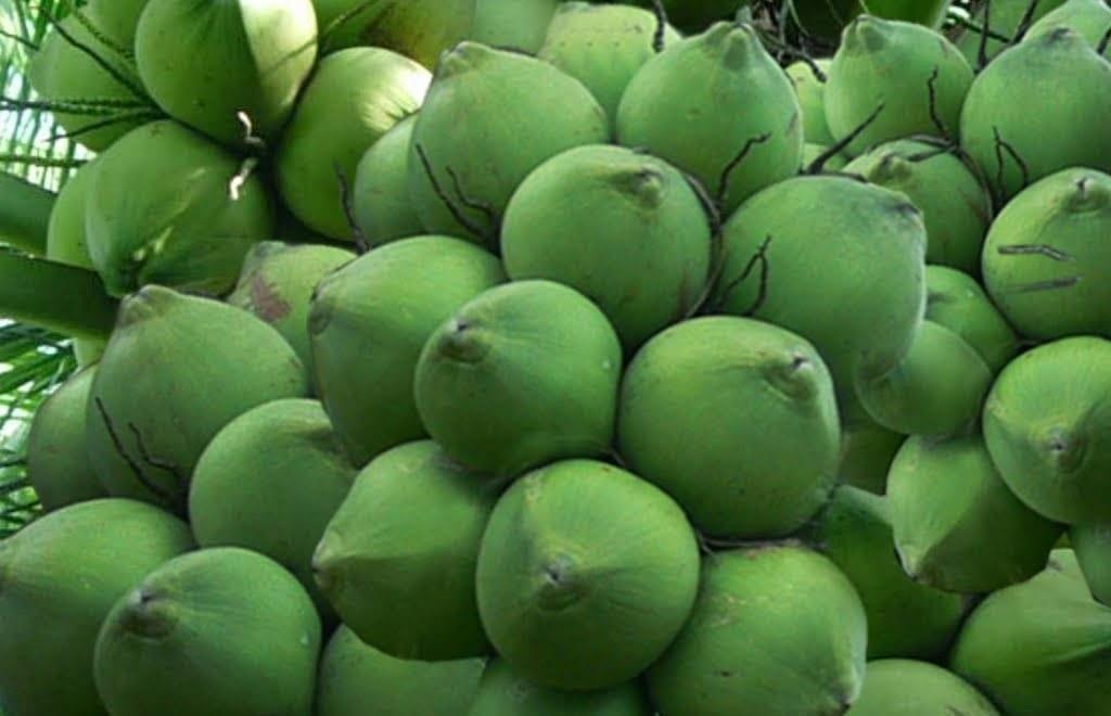 Dừa - Nguyên liệu chính tạo nên phế phẩm nước màu dừa
