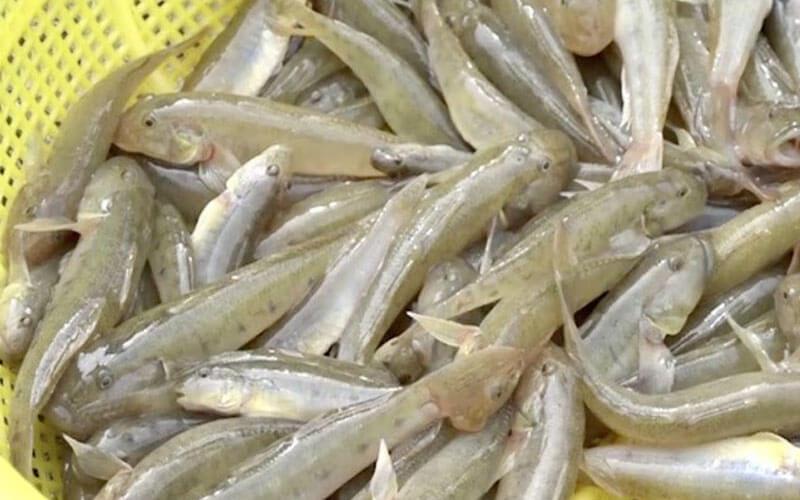 Cá bống Sơn Trà chứa nhiều chất dinh dưỡng