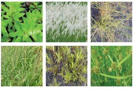 các loại cỏ dại
