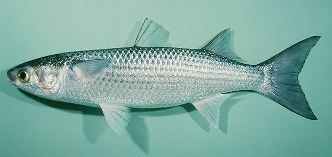 Cách lựa cá đối ngon