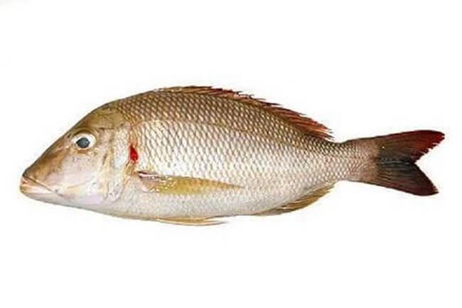Nguyên liệu cá gáy