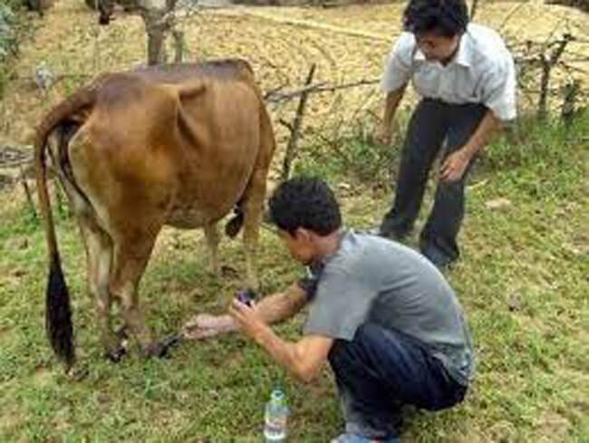 Dùng giấm rửa chân cho gia súc